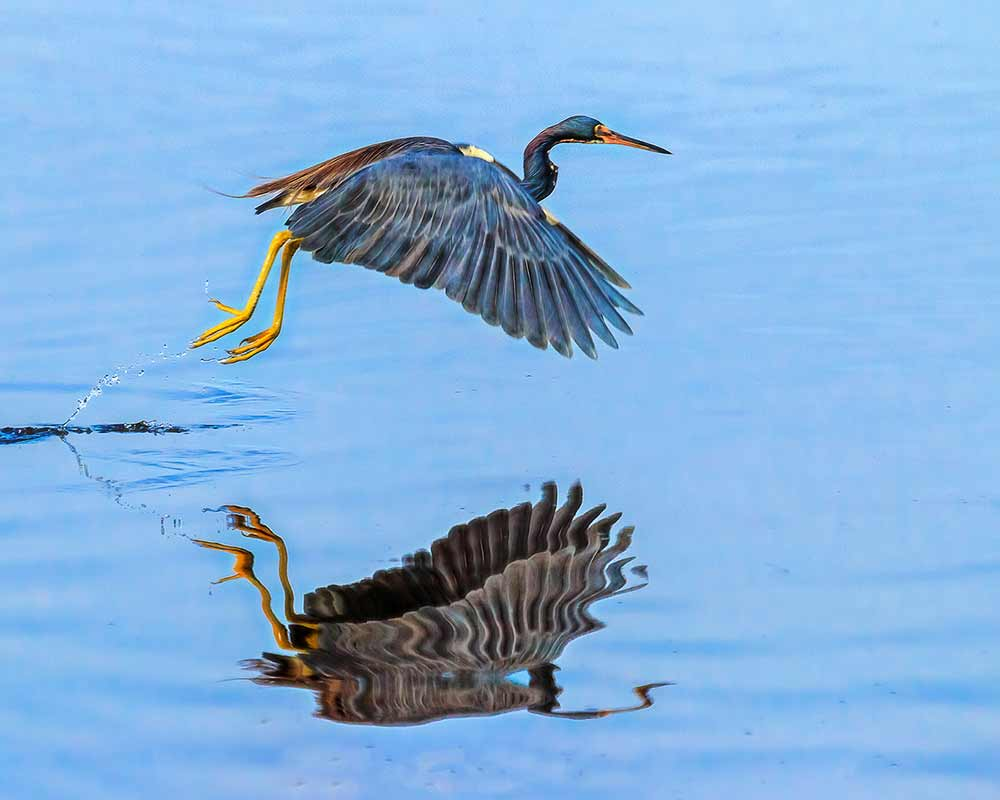 Dorria-Bird-(Heron)-IMG_6393-(1)