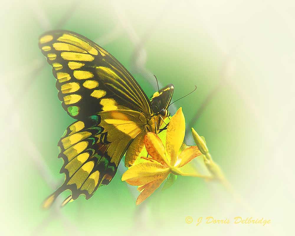 Dorris-Butterfly-DSC03303a-(1)